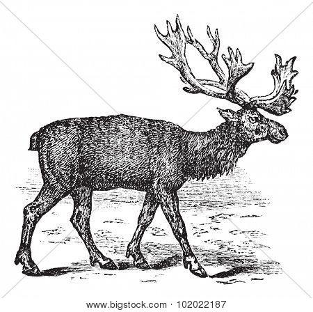 Reindeer or Rangifer tarandus or Caribou, vintage engraving. Old engraved illustration of  male Reindeer. Trousset encyclopedia (1886 - 1891).
