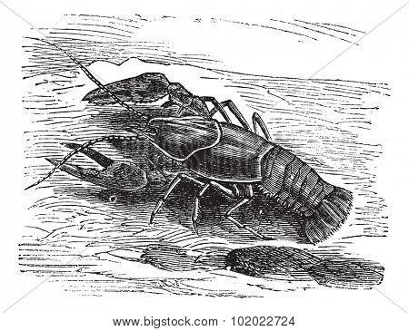 Lobster or Crayfish or Astacus sp., vintage engraving. Old engraved illustration of a Lobster. Trousset encyclopedia (1886 - 1891).