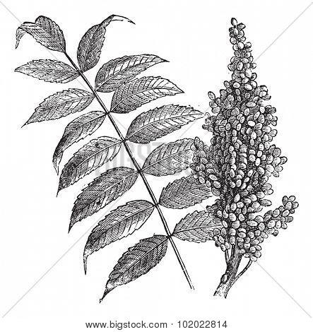 Smooth sumac (Rhus glabra), vintage engraved illustration. Fresh Sumac leaves and berries on white. Trousset encyclopedia (1886 - 1891). poster