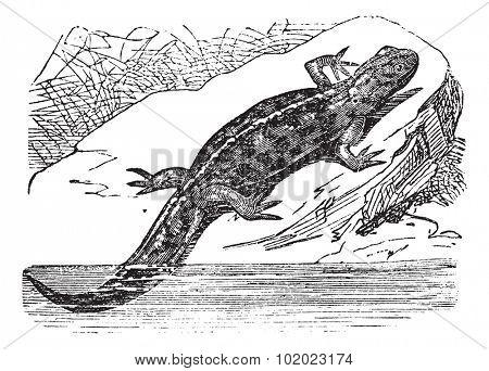 Smooth Newt or Lissotriton vulgaris, vintage engraved illustration. Trousset encyclopedia (1886 - 1891).
