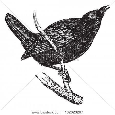 Wren or Troglodytes sp., vintage engraved illustration. Trousset encyclopedia (1886 - 1891).