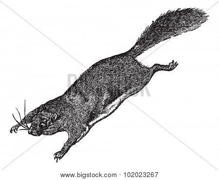 Flying Squirrel or Pteromyini or Petauristini, vintage engraved illustration. Trousset encyclopedia (1886 - 1891).