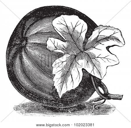 Pumpkin (Cucurbita pepo) vintage engraving. Old engraved illustration of Pumpkin with flower. Trousset encyclopedia (1886 - 1891).