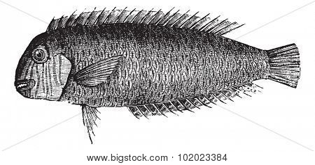 Pearly razorfish or Xyrichtys novacula or Cleaver wrasse or Xyrichthys cultratus, vintage engraving. Isolated on a white background. Trousset encyclopedia (1886 - 1891).