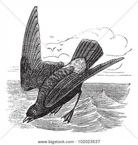 European Storm-petrel or Storm Petrel or Hydrobates pelagicus, vintage engraved illustration. Trousset encyclopedia (1886 - 1891).