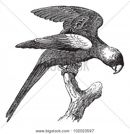 Carolina Parakeet or Conuropsis carolinensis, vintage engraved illustration. Trousset encyclopedia (1886 - 1891).