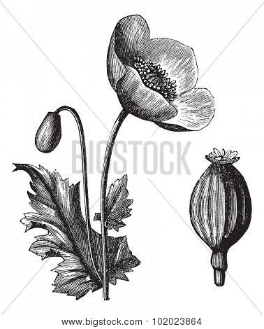 Opium Poppy or Papaver somniferum, vintage engraved illustration. Trousset encyclopedia (1886 - 1891).