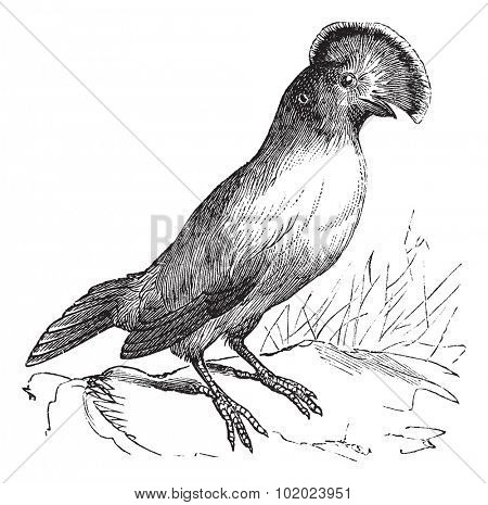 Guianan Cock-of-the-rock or Rupicola rupicola, vintage engraving. Old engraved illustration of Guianan Cock-of-the-rock male. Trousset encyclopedia (1886 - 1891).