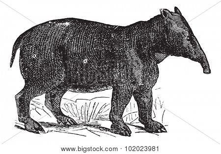 Palaeotherium, vintage engraved illustration. Trousset encyclopedia (1886 - 1891).