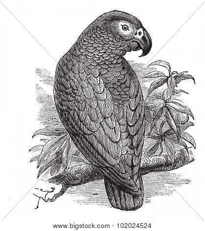 African Grey Parrot or Psittacus erithacus or Grey Parrot, vintage engraving. Old engraved illustration of African Grey Parrot waiting on a branch. Trousset encyclopedia (1886 - 1891).