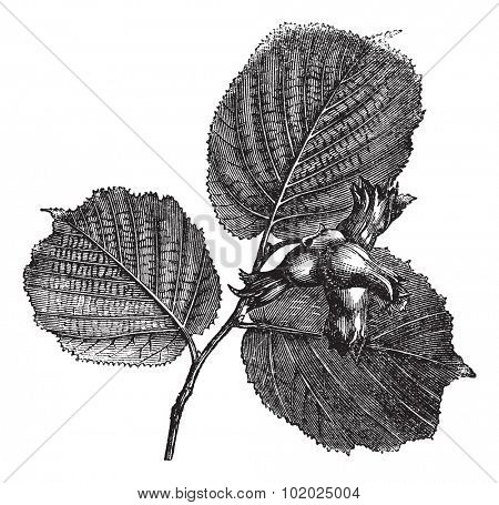 Hazel or Corylus sp. showing leaves and nuts with spiny involucres, vintage engraved illustration. Trousset encyclopedia (1886 - 1891).