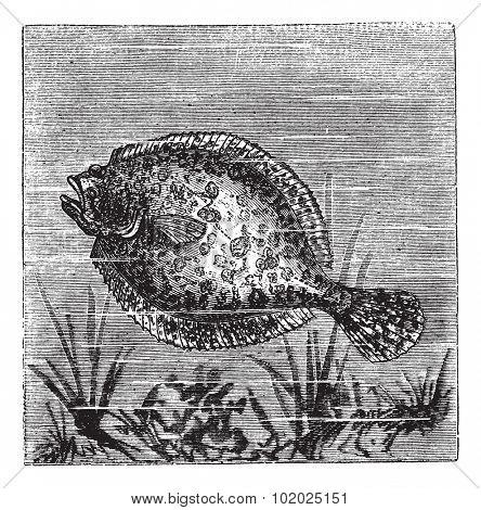 European flounder or Platichthys flesus, vintage engraved illustration. Trousset encyclopedia (1886 - 1891). poster