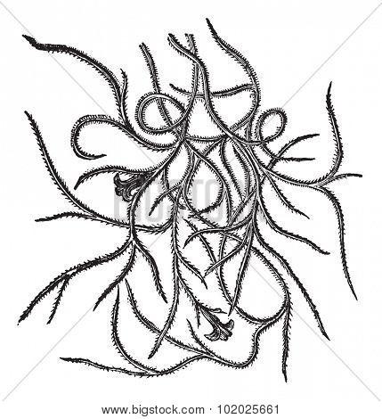 Spanish moss (Tillandsia usneoides), vintage engraved illustration. Spanish moss a flowering plant isolated on white. Spanish moss on white background. Trousset encyclopedia (1886 - 1891).