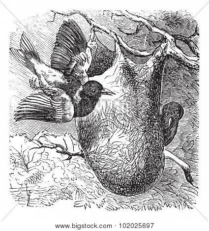 Baltimore Oriole or Icterus galbula, vintage engraved illustration. Trousset encyclopedia (1886 - 1891).
