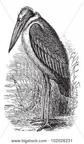Greater Adjutant or Leptoptilos dubius or Leptoptilus argala or Ardea dubia or Leptoptilus giganteus or Argala migratori, vintage engraving. Trousset encyclopedia (1886 - 1891).
