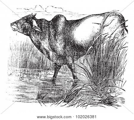Zebu or Bos primigenius indicus or Bos taurus indicus or Humped cattle or Indicus cattle or Cebu or Brahmin cattle, vintage engraving. Illustration of Zebu. Trousset encyclopedia (1886 - 1891).