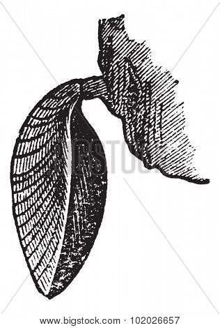 Brachiopod, vintage engraved illustration. Magasin Pittoresque 1874