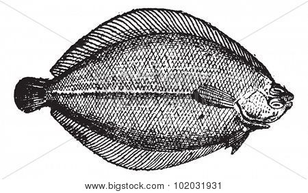 Rhombus or Brill, vintage engraved illustration. Dictionary of words and things - Larive and Fleury - 1895.