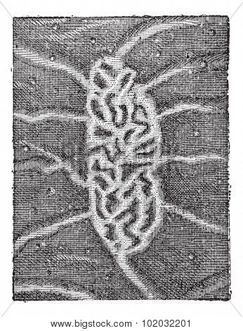 Intestine, Peyer's patches or aggregated lymphoid nodules, vintage engraved illustration. Dictionary of words and things - Larive and Fleury - 1895.