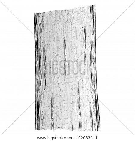 Black And White Corn Stem Micrograph