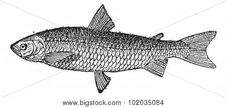 European Whitefish or Coregonus lavaretus, vintage engraved illustration. Dictionary of Words and Things - Larive and Fleury - 1895