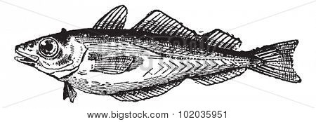 Whiting or Merlangius merlangus, vintage engraved illustration. Dictionary of Words and Things - Larive and Fleury - 1895