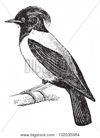 Purple Martin or Progne subis, Perched on a Branch, vintage engraved illustration. Dictionary of Words and Things - Larive and Fleury - 1895