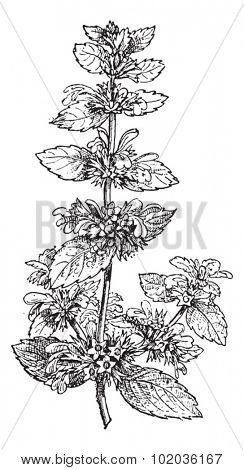 Black Horehound or Ballota nigra, showing flowers, vintage engraved illustration. Dictionary of Words and Things - Larive and Fleury - 1895