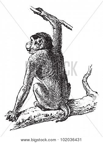 Macaque or Macaca sp., vintage engraved illustration. Dictionary of Words and Things - Larive and Fleury - 1895