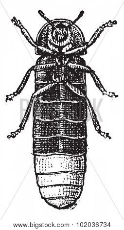 Glowworm or Lampyris noctiluca, vintage engraved illustration. Dictionary of Words and Things - Larive and Fleury - 1895