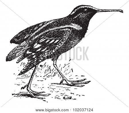 Snipe or Scolopacidae, vintage engraved illustration. Dictionary of Words and Things - Larive and Fleury - 1895