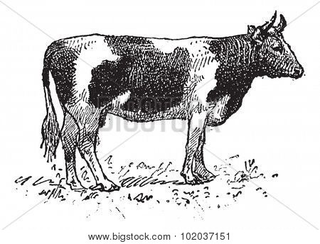 Breton cattle breed, vintage engraved illustration. Dictionary of words and things - Larive and Fleury - 1895.