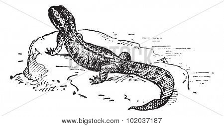 Crested Newt or Triturus sp., vintage engraved illustration. Dictionary of Words and Things - Larive and Fleury - 1895