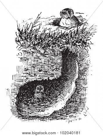 Nest of the Burrowing Owl or Athene cunicularia, showing grassland burrow, vintage engraved illustration. Dictionary of Words and Things - Larive and Fleury - 1895