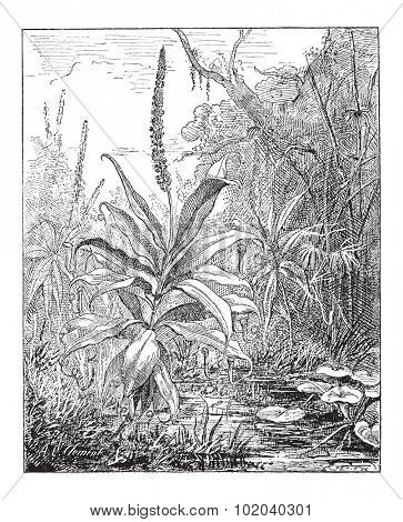 Pitcher Plant or Nepenthes distillatoria, vintage engraved illustration. Dictionary of Words and Things - Larive and Fleury - 1895