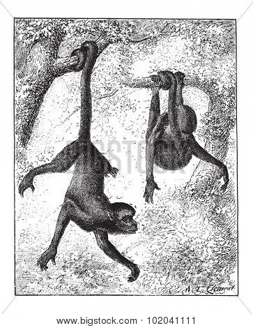 Spider Monkey or Ateles sp., vintage engraved illustration. Dictionary of Words and Things - Larive and Fleury - 1895