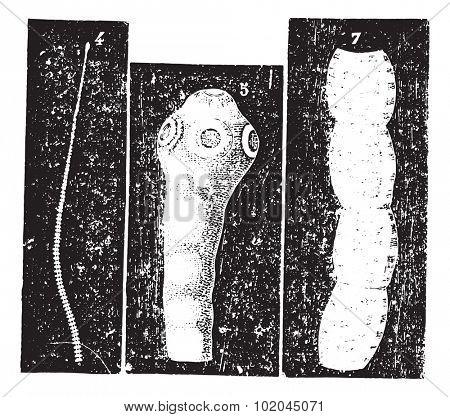 Taenia solium or Pork tapeworm, vintage engraved illustration. Usual Medicine Dictionary by Dr Labarthe - 1885.