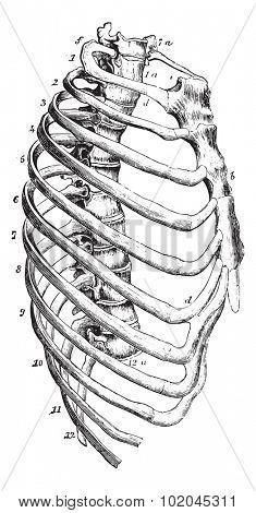 Sternum, vintage engraved illustration. Usual Medicine Dictionary by Dr Labarthe - 1885.