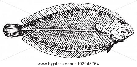Plaice, vintage engraved illustration. Dictionary of words and things - Larive and Fleury - 1895.