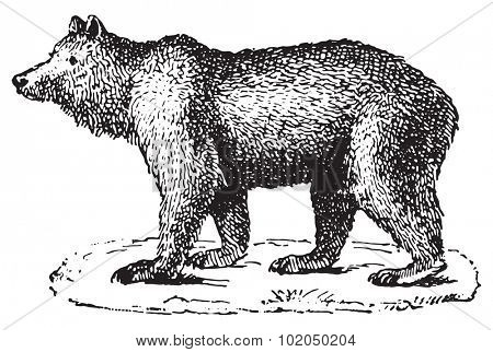 Bear, vintage engraved illustration. Dictionary of words and things - Larive and Fleury - 1895.