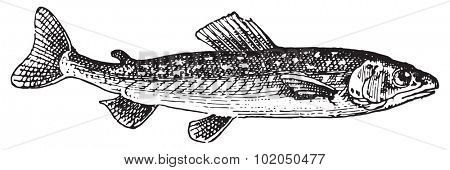 Umbrine fish, vintage engraved illustration. Dictionary of words and things - Larive and Fleury - 1895.