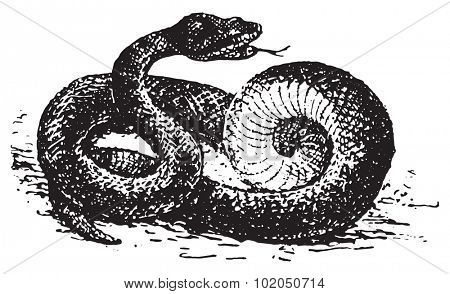 Vipera aspis, vintage engraved illustration. Dictionary of words and things - Larive and Fleury - 1895.