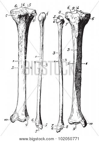 Skeleton of the leg, vintage engraved illustration. Usual Medicine Dictionary - Paul Labarthe - 1885.