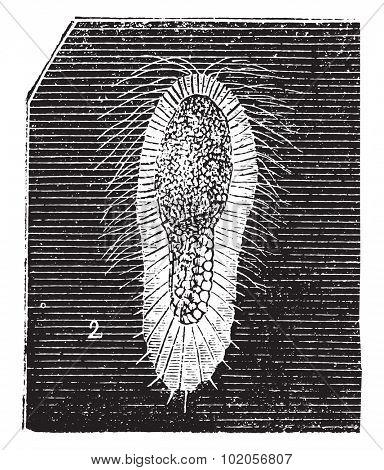 Larva fibrous sponge, vintage engraved illustration. Natural History of Animals, 1880.