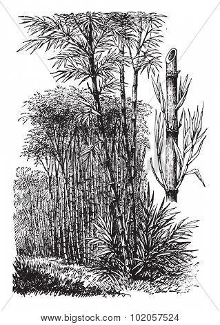 Bamboo, vintage engraved illustration. La Vie dans la nature, 1890.