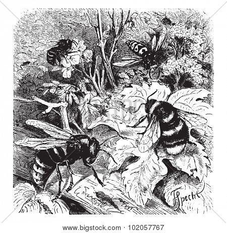 Bee, vespa crabro, wasp, drone, vintage engraved illustration. La Vie dans la nature, 1890.  poster