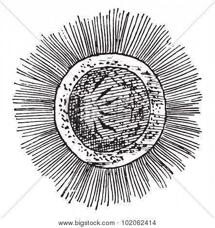 Free swimming embryo of the Bothriocephalus latus, vintage engraved illustration.