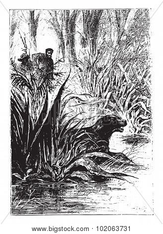 Dingo disappeared between the double row of shrubs, vintage engraved illustration.