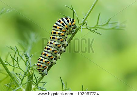 Caterpillar of the Papilio Machaon swallowtail butterfly on a fennel stem