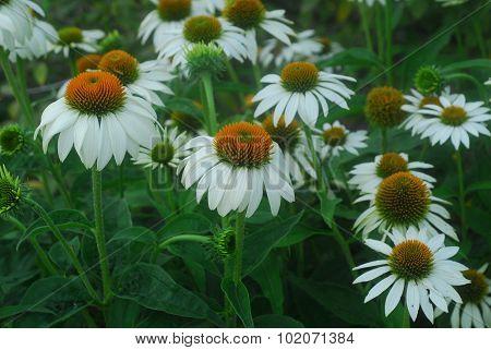 White Echinacea Coneflower Flower